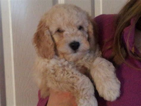 teacup golden retriever teacup puppies for sale in paducah kentucky breeds picture