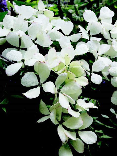 fiori portafortuna il cornus da fiore la pianta porta fortuna ital agro