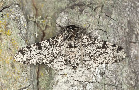jumping gene painted the peppered moth black d brief