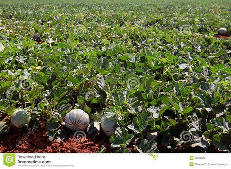 Plantation De Melon by Zones De Ferme Plantation De Melons Image Libre De Droits