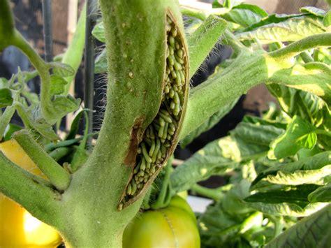 tomato plant disease treatment bucolic bushwick diseases pests