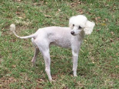 Giveaway Horses Qld - for sale poodle male giveaway to good home