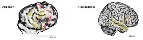 how big is a dogs brain how dogs read our moods emotion detector found in fido s