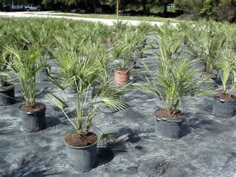 european mediterranean fan palm european mediterranean fan palm 7 gallon crop