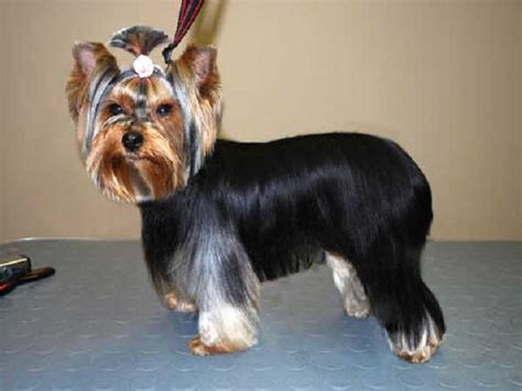 different haircuts for yorkies yorkie haircuts 100 terrier hairstyles pictures yorkiemag