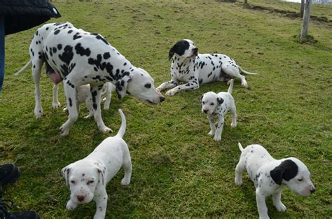 dalmatian puppies nc dalmatian puppies for sale image search results breeds picture