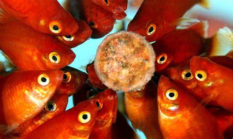 alimentazione dei pesci alimentazione dei pesci