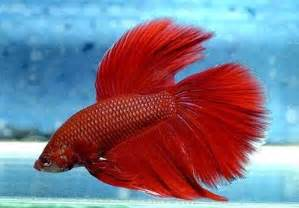 siamese fighting fish is not the only betta fish that