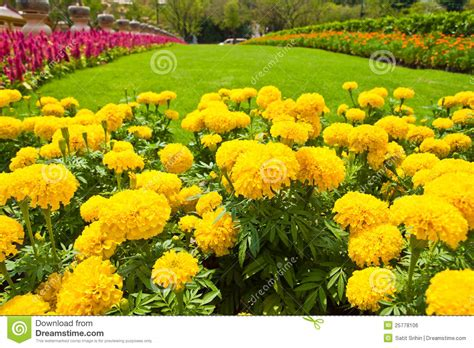 Yellow Marigold And Colorful Flower Royalty Free Stock Marigold Flower Garden