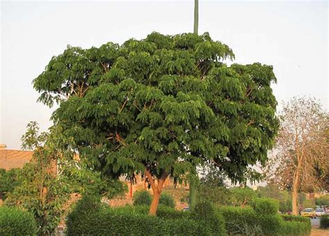 tropical subtropical trees index of tropical and subtropical trees albizia lebbeck