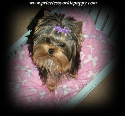 micro teacup yorkies for sale in michigan 17 best images about pets for sale on morkie puppies for sale yorkie