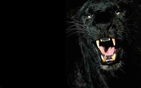 Black Panther Animal Desktop Wallpaper | black panther backgrounds wallpaper cave
