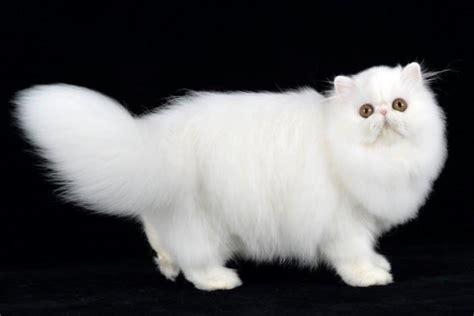 gatti persiani prezzi gatto persiano carattere cure e prezzo miciogatto it
