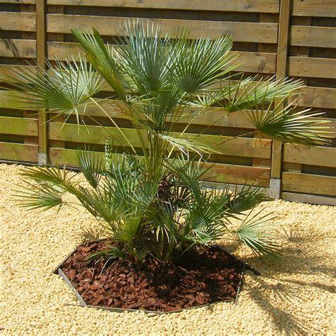 Chamaerops Excelsa Taille Adulte chamaerops humilis palmier nain