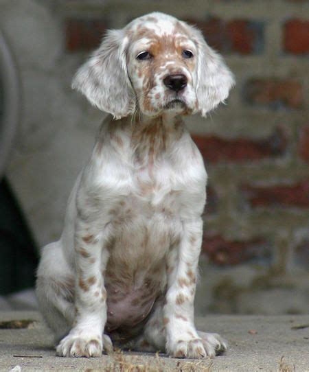 setter dog baby english setter dog breed information english setters