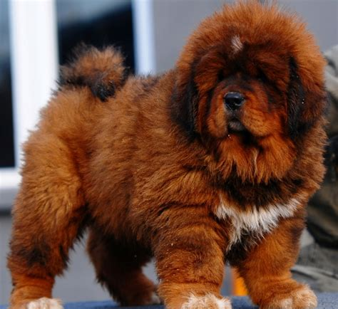 tibetan mastiff puppy for sale tibetan mastiff info puppies sale cost facts pictures