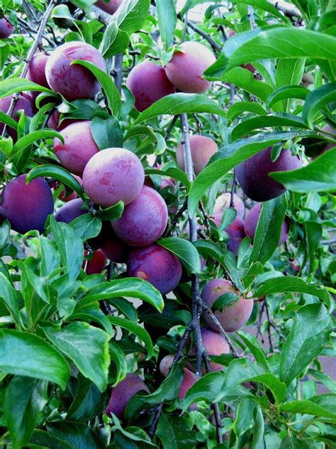 care of plum tree tips on how to grow a plum tree