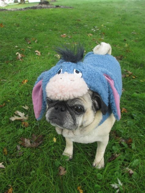 pug pumpkin costume the pugs costumes from petsmart emily reviews