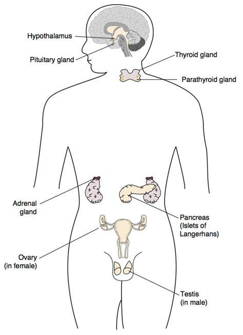 diagram of endocrine system file hypothalamus endocrine system jpg cellbiology