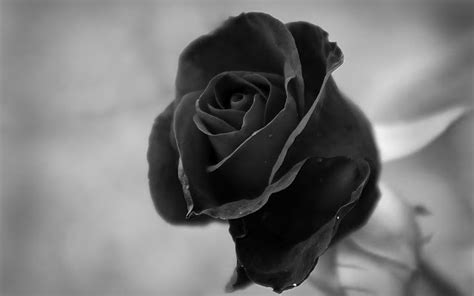 wallpaper black and white roses black and white rose wallpaper 21 cool hd wallpaper