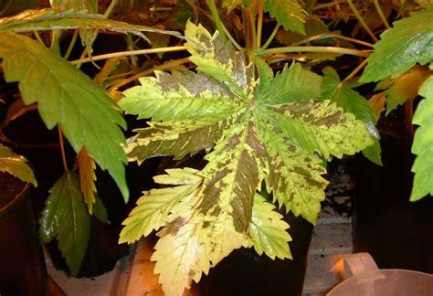 cultivos interior marihuana cultivo
