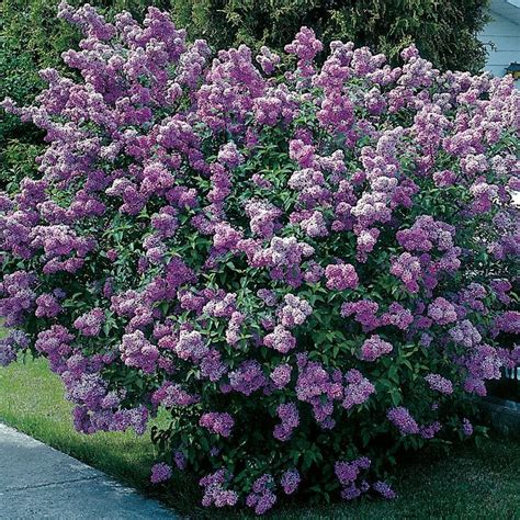 lilacs bush lilac bush my dream garden pinterest
