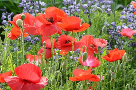 shirley poppy seed mixed colors papaver rhoeas poppy flowers