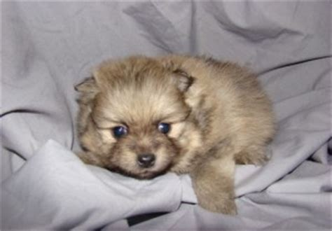 free puppies boise dogs boise id free classified ads