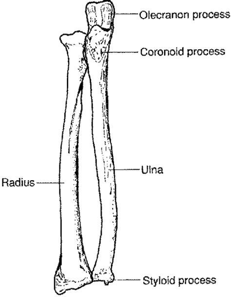 radius and ulna diagram ulna radius my skehliton