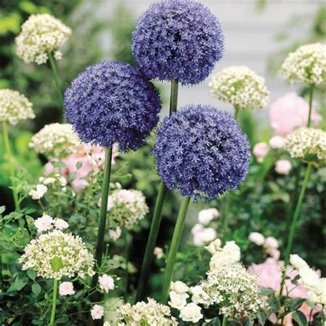1000 images about alliums on pinterest gardens sun and