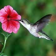 best flowers for hummingbirds garden pinterest