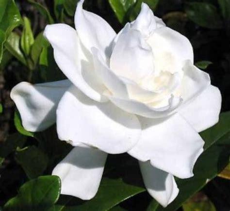 Imagenes Flores Jasmin Lindas   ranking de las flores m 225 s bonitas listas en 20minutos es