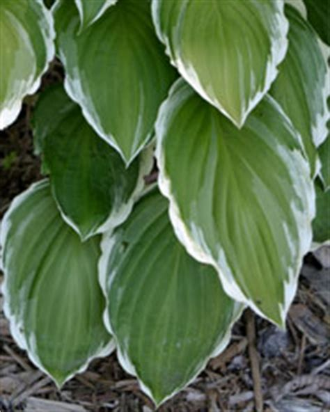 plants that need little light 1 hosta lily top 10 low light plants howstuffworks
