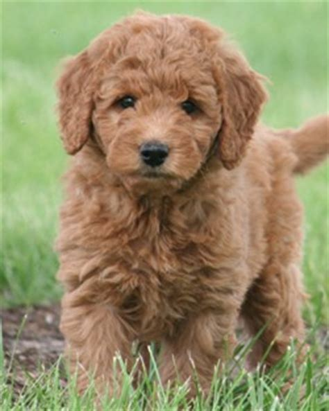 mini goldendoodles health issues 8 things to about the miniature goldendoodle mini
