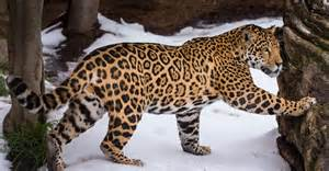 Jaguar Synonyms Image Gallery Snow Jaguar