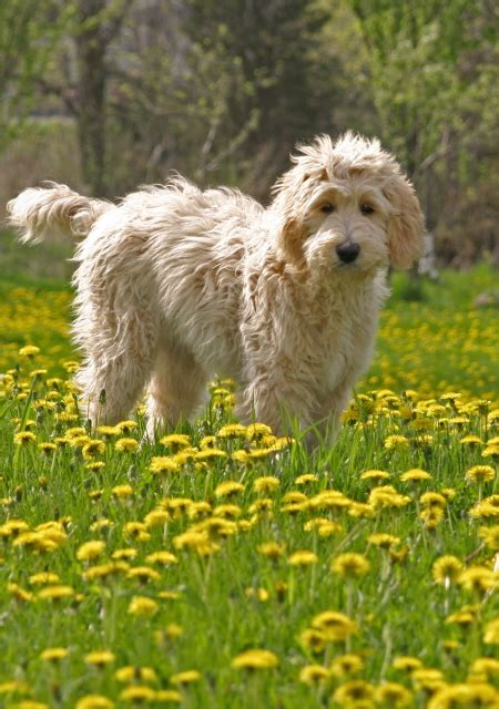 doodle acres ontario puppy mill goldendoodles doodlelane breeds picture