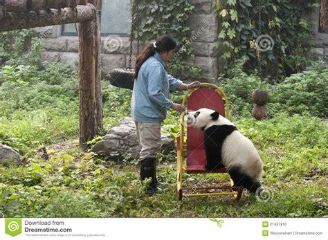 libro panda bear panda bear zookeeper giant panda bear cub beijing china zoo editorial image image 21457910