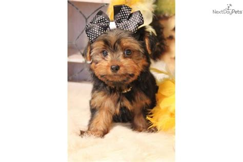 teddy bear cut for teacup yorkie yorkshire terrier yorkie puppy for sale near las vegas