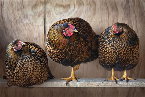 egg laying chickens illustrated guide