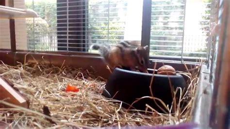 gabbia scoiattolo miele scoiattolo tamia sibiricus 11 mesi gira per la