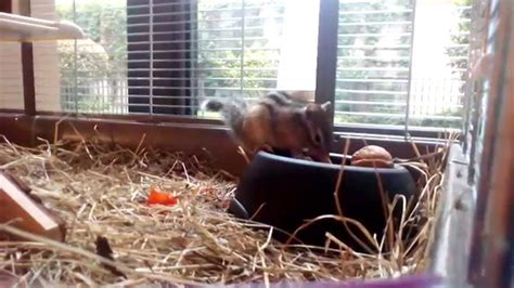 gabbie scoiattoli miele scoiattolo tamia sibiricus 11 mesi gira per la