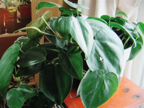common house plants with shaped leaves popular easy to grow house plants
