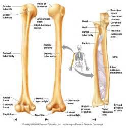 bone anatomy of forearm forearm anatomy human anatomy body