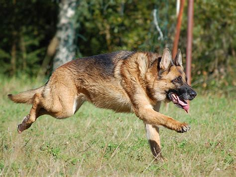 dog house for a german shepherd short haired german shepherd facts and pictures