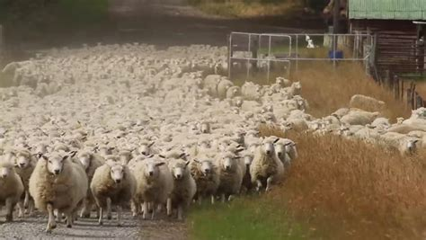 how to a to herd sheep shepherd dogs moving a sheep herd to new pastures stock footage 5425445
