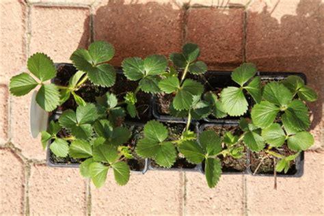 des fraisiers dans le jardin 171 jardinage fm guide du jardinage