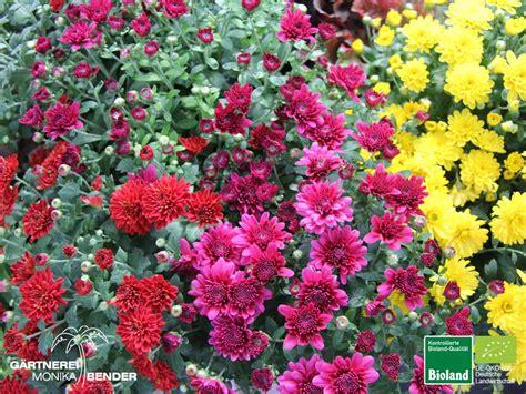 garten chrysantheme garten chrysantheme chrysanthemum 215 grandiflorum bioland