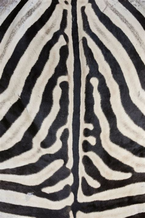 authentic zebra skin rug authentic zebra skin rug taxidermy miscellaneous apollo antiques