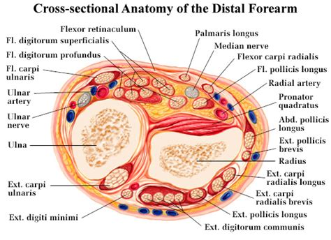 cross sectional anatomy study guide corneal transplant pictures posters news and videos on