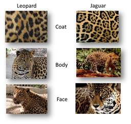What Is The Difference Between Jaguar And Panther In Sync Exotics Cat Tales 6 3 12 6 10 12